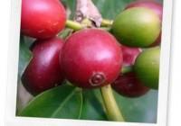 CoffeeArabicaCherryCloseup_thumb