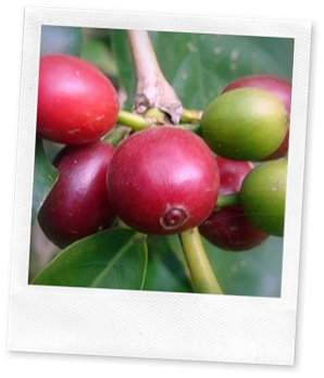 types of coffee beans already for picking