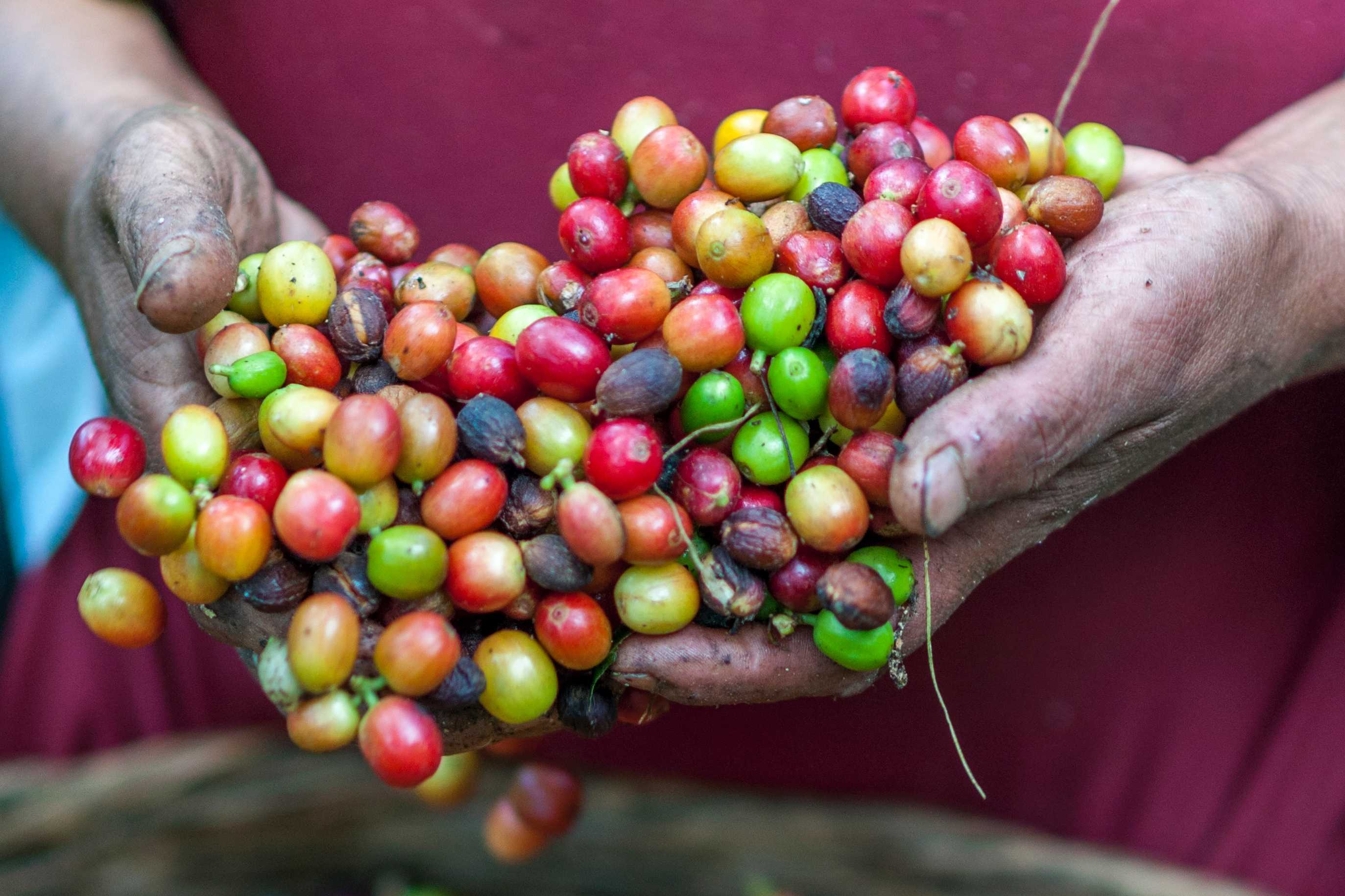 Different types of coffee beans cherries freshly picked